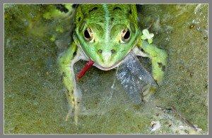 dcn-89.23.12-p1.w-grenouille-et-libellule-rouge-300x196 dans Reportage